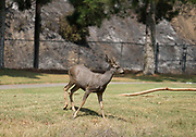 A deer is seen at a golf court during a brushfire, Sunday, Sept. 3, 2017, in Burbank, Calif. Several hundred firefighters worked to contain a blaze that chewed through brush-covered mountains, prompting evacuation orders for homes in Los Angeles, Burbank and Glendale.(Photo by Ringo Chiu)<br /> <br /> Usage Notes: This content is intended for editorial use only. For other uses, additional clearances may be required.