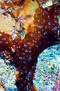 Anemone Shrimp, Periclimenes Yucatanicus and Bubble Tip Anemone, Entacmaea quadricolor, in Grand Cayman