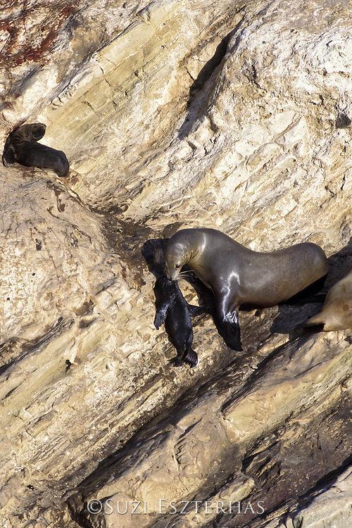 California Sea Lion <br /> Zalophus californianus<br /> Mother carrying pup up cliff<br /> San Miguel Island, Channel Islands NP, California<br /> A mother carries her young pup (less than 1 week old) in her mouth up a steep cliff.