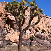 USA, California, Joshua Tree. Joshua tree, Quail Springs in Joshua Tree National Park.