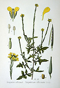 Hedge Mustard (Sisymbrium officinale)  a weed of arable and  wasteland, native to Europe and North Africa. In folk medicine it has been used as an expectorant, a diuretic, a laxative, and a tonic. The Ancient Greeks believed it to be an antidote for all poisons.   From Amedee Masclef 'Atlas des Plantes de France', Paris, 1893.