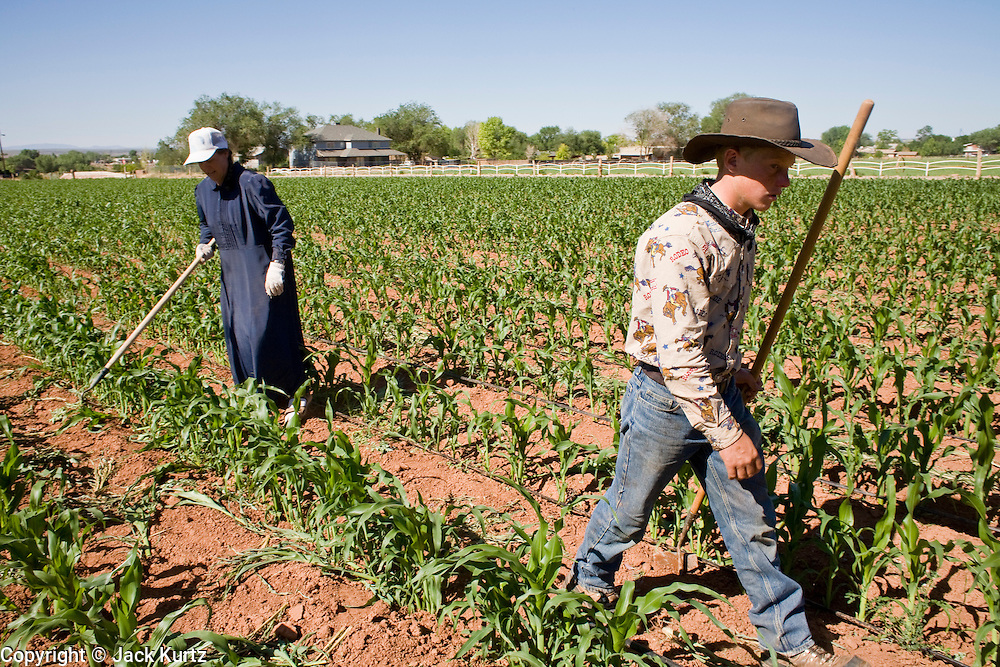 """June 16, 2008 -- COLORADO CITY, AZ: Members of the Jessop family, a polygamous family and members of the FLDS in Colorado City, AZ, weed the community corn field. The family grows about 30 percent of the food they consume and buy the rest at the town mercantile store. Although their fields are not """"organic"""" according the Department of Agriculture standards, the Jessops use as few chemicals as possible and try do weed and pest control by hand. Colorado City and neighboring town of Hildale, UT, are home to the Fundamentalist Church of Jesus Christ of Latter Day Saints (FLDS) which split from the mainstream Church of Jesus Christ of Latter Day Saints (Mormons) after the Mormons banned plural marriage (polygamy) in 1890 so that Utah could gain statehood into the United States. The FLDS Prophet (leader), Warren Jeffs, has been convicted in Utah of """"rape as an accomplice"""" for arranging the marriage of teenage girl to her cousin and is currently on trial for similar, those less serious, charges in Arizona. After Texas child protection authorities raided the Yearning for Zion Ranch, (the FLDS compound in Eldorado, TX) many members of the FLDS community in Colorado City/Hildale fear either Arizona or Utah authorities could raid their homes in the same way. Older members of the community still remember the Short Creek Raid of 1953 when Arizona authorities using National Guard troops, raided the community, arresting the men and placing women and children in """"protective"""" custody. After two years in foster care, the women and children returned to their homes. After the raid, the FLDS Church eliminated any connection to the """"Short Creek raid"""" by renaming their town Colorado City in Arizona and Hildale in Utah.  Photo by Jack Kurtz / ZUMA Press"""