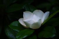 A perfect summer blloming Magnolia blossom.