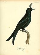 Drongo from the Book Histoire naturelle des oiseaux d'Afrique [Natural History of birds of Africa] Volume 4, by Le Vaillant, Francois, 1753-1824; Publish in Paris by Chez J.J. Fuchs, libraire 1805