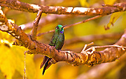 Green-crowned Brilliant Hummingbird, heliodoxa jacula, Costa Rica Cloud Forest