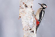 Great spotted woodpecker, Dendrocopos major, Vitbergets nature reserve, Kalvtrask, Vasterbotten, Sweden