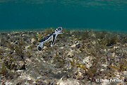 Australian flatback sea turtle hatchling swims across shallow reef in front of nesting beach, Natator depressus , Torres Strait, Queensland, Australia