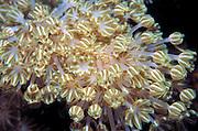 Alcyonacea Soft Coral pattern Sabah Borneo