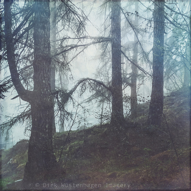 Conifer forest on a damp and misty morning in the Italian Alps<br /> Redbubble prints & more --> https://rdbl.co/2zWXB2b
