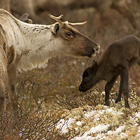 While grazing on lichen growing north of the Arctic Circle in Russia, a reindeer sniffs at her  newborn calf.