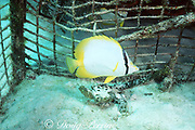 spotfin butterflyfish, Chaetodon ocellatus, trapped inside abandoned lobster trap; mate is outside, Biscayne National Park, Florida ( Western Atlantic Ocean )