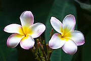 Two plumeria from Hawaii.