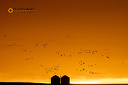 Snow geese silhouetted against dramatic sunrise sky during spring migration at Freezeout Lake WMA near Choteau, Montana, USA