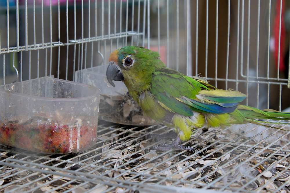A young and ill parrot for sale in a pet shop, Ramallah, Palestine