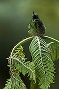 Buff-Tailed Coronet (Boissonneaua flavescens)<br /> West Slope of Andes<br /> Ecuador<br /> South America<br /> Habitat & Range: Cloud forest, elfin forest, and páramo of Colombia, Ecuador & Venezuela