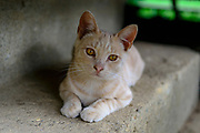 Domestic Shorthair tabby cat. Columbus, Ohio, USA. July 2014