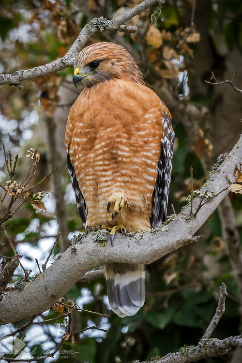 Red Shoulder Hawk, Monterey, California
