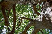 Adansonia digitata African Baobab Tree, Photographed at Lake Manyara National Park. Tanzania