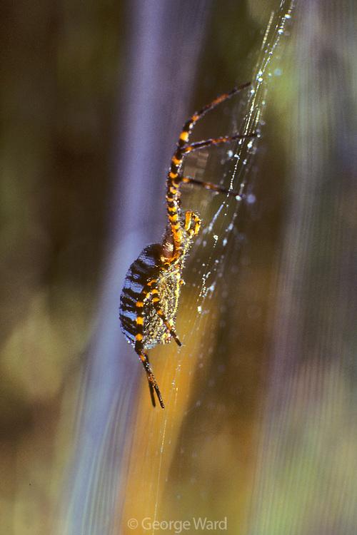 Argiope Spider in Web at Dawn,Phillip Burton Wilderness, Point Reyes National Seashore, California
