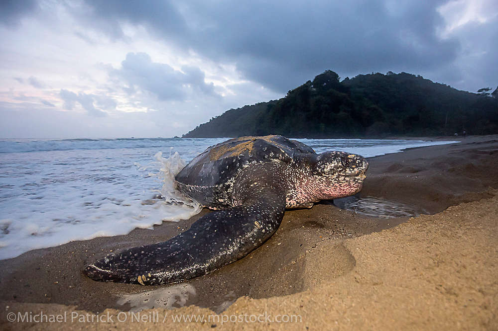 A female Leatherback Sea Turtle, Dermochelys coriacea, nests at sunrise on Grand Riviere, Trinidad, and returns to the Caribbean Sea. During peak nesting season in late May / early June, this beach will receive roughly 300 nesting Leatherback every night, making it one of the busiest and most important nesting locations in the world for the critically endangered species.