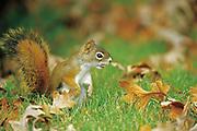 Red squirrel or Eurasian red squirrel (Sciurus vulgaris) <br />Winnipeg<br />Manitoba<br />Canada