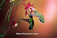 01162-070.14 Ruby-throated Hummingbirds (Archilochus colubris) male & female on Crimson Star Columbine (Aquilegia x hybrida) IL
