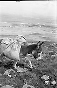 Farmers use donkeys to transport sand and cement up Croagh Patrick for work on the exterior of the Oratory. 'Jack' the leading donkey with his load..15-17.05.1962
