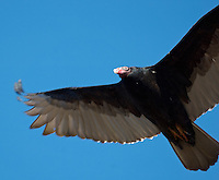Turkey Vulture in Flight. Image taken with a Nikon D2xs and 80-400 mm Lens (ISO 100, 400 mm, f/5.6, 1/400 sec). Raw image processed using Capture One Pro 6, and Photoshop CS5. Motion blur reduced using Focus Magic.