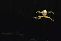 View from below a Wallace's Flying Frog (Rhacophorus nigropalmatus) gliding through the air.