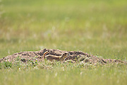 Black tailed Prairie Dog looks out from a burrow in a colony occupying a suburban field in Cheyenne, Wyoming.