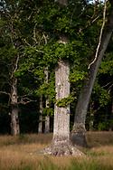 oak tree in the Wahner Heath, Cologne, North Rhine-Westphalia, Germany.<br /> <br /> Eiche in der Wahner Heide, Koeln, Nordrhein-Westfalen, Deutschland.