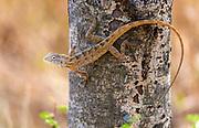 Oriental garden lizard (Calotes versicolor, male) from Tadoba NP, India.