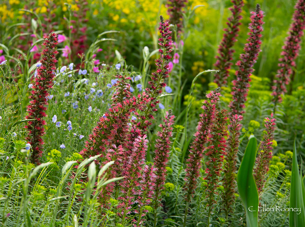 A close-up of Echium russicum (Red flowered Viper's) and Euphorbia seguiera in the Resilience Garden designed by Sarah Eberle at the RHS Chelsea Flower Show 2019.