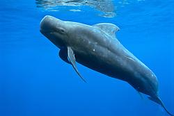 short-finned pilot whale, Globicephala macrorhynchus, bull, excreting, offshore, Kona Coast, Big Island, Hawaii, USA, Pacific Ocean