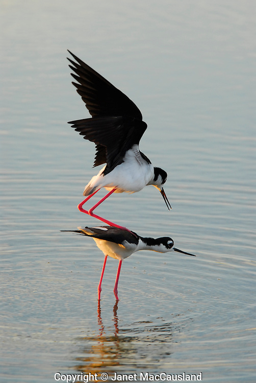 After a water-play courtship, the female Black Necked Stilt (Himantopus mexicanus) lowers her head and the male mounts her to mate.