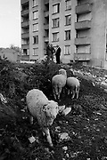 Momiclgrad. A town prodominantly occupied by ethnic turks who have reisted the authorities attempts at enforced assimilation to be met with force and deportations. Bulgaria, April 1989.
