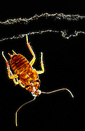 Deu, Deutschland: Leerer Panzer einer Amerikanischen Schabe (Periplaneta americana) hängt nach der Häutung an einem Zweig | Deu, Germany: Hollow skin of an American cockroach (Periplaneta americana) after moulting hanging on a twig |