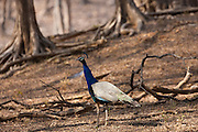 Peacock, national bird of India, Indian Pavo, in Ranthambhore National Park, Rajasthan, Northern India