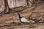 Peacock, national bird of India, Indian Pavo, in Ranthambhore National Park, Rajasthan, Northern India
