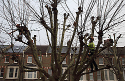 UK ENGLAND LONDON 11DEC13 - Tree surgeons prune a sycamore tree in Shirland Road, Westminster, west London.<br /> <br /> jre/Photo by Jiri Rezac<br /> <br /> © Jiri Rezac 2013