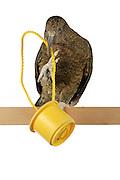 [captive] Kea (Nestor notabilis). The Kea is able to pull up a rope with food attached to it. This requires coordination and interaction of foot and beak. The picture was taken in cooperation with the University of Vienna (UniVie) and University of Veterinary Medicine Vienna (VetMed). Sequence 2/5.   Kea oder Bergpapagei (Nestor notabilis) ist in der Lage, an einem Seil hängende Nahrung zu sich hoch zu ziehen. Dies bedarf der Koordination und Zusammenarbeit von Kralle und Schnabel. Das Bild wurde in Zusammenarbeit mit der Veterinärmedizinischen Universität Wien und der Universität Wien erstellt. Sequenz 2/5.