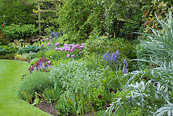 Curving border and lawn with neat, sharp edges at Eastgrove Cottage in spring. Tulipa 'Bleu Aimable', T. 'Queen of Night', Camassia leictlinii Caerulea Group,  Wallflower 'Bloomsy Baby Purple', Cynara cardunculus
