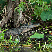 A young American alligator (Alligator mississippiensis) resting on a log on the Caloosahatchee River, Florida .