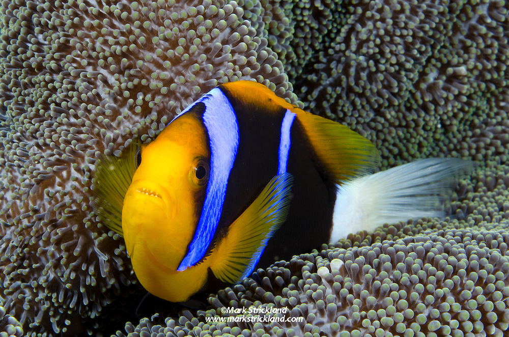 Orange-fin Anemonefish, Amphiprion chrysopterus, snuggling among tentacles of its host anemome. Cenderawasih Bay, West Papua, Indonesia, Pacific Ocean