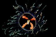 UNDERWATER MARINE LIFE EAST PACIFIC, Northeast Medusa jellyfish Gonionemus vertens