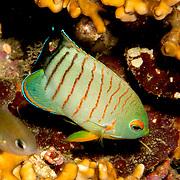 Blacktail Angelfish inhabit reefs. Picture taken Bail, Indonesia
