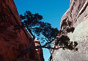 Utah juniper growing from crack in Entrada Sandstone fin, Devils Garden, Arches National Park, Utah.