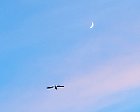 Northern Gannet (Morus bassanu) and moon at dusk. Viewed from the deck of the MV Explorer on the North Sea. Image taken with a Leica X2 camera with a 24 mm lens.