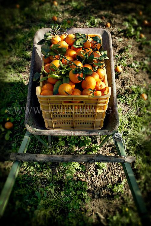 A wheelbarrow full of oranges from an orange grove in Sorrento, Italy.
