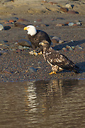 Two bald eagles (Haliaeetus leucocephalus), an adult and a juvenile, feed at the edge of the Squamish River in Brackendale, British Columbia, Canada. The juvenile found a scrap of food on a log and carried it to the edge of the river. The adult chased the young eagle and snatched the food, visible on its right foot, for itself.